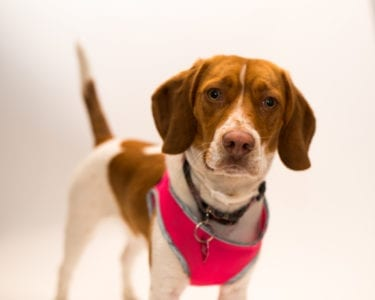 Dog in pink harness